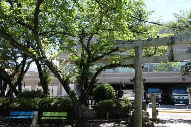 茶業者は境内の桜の様子から新茶時期を占っていると言います。