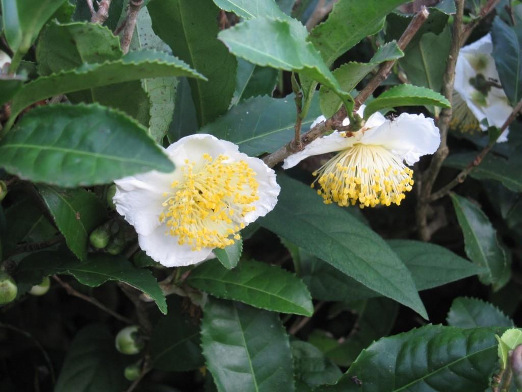 お茶の花が咲きました。の画像