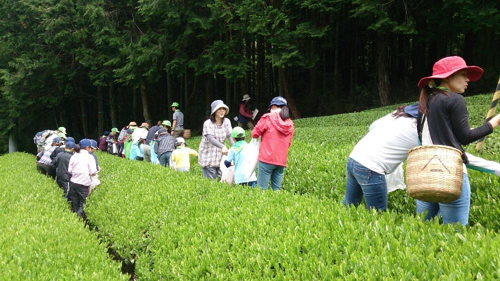 お茶摘み体験に参加しました。の画像